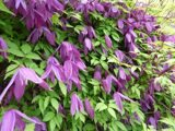 Clematis_alpina_Tage_Lundell